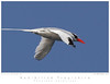 Tropicbird_Red-billed TAB10MK4-4878