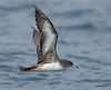 Pink-footed Shearwater<br /> Pink-footed Shearwater<br /> Puffinus creatopus