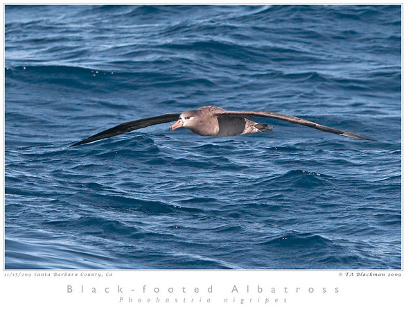 Albatross_Black-footed TAB09MK3-19553