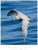 Gull_Thayer's TAB09MK3-01094