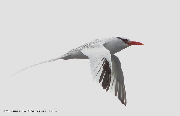 Tropicbird_Red-billed TAB10MK4-26813