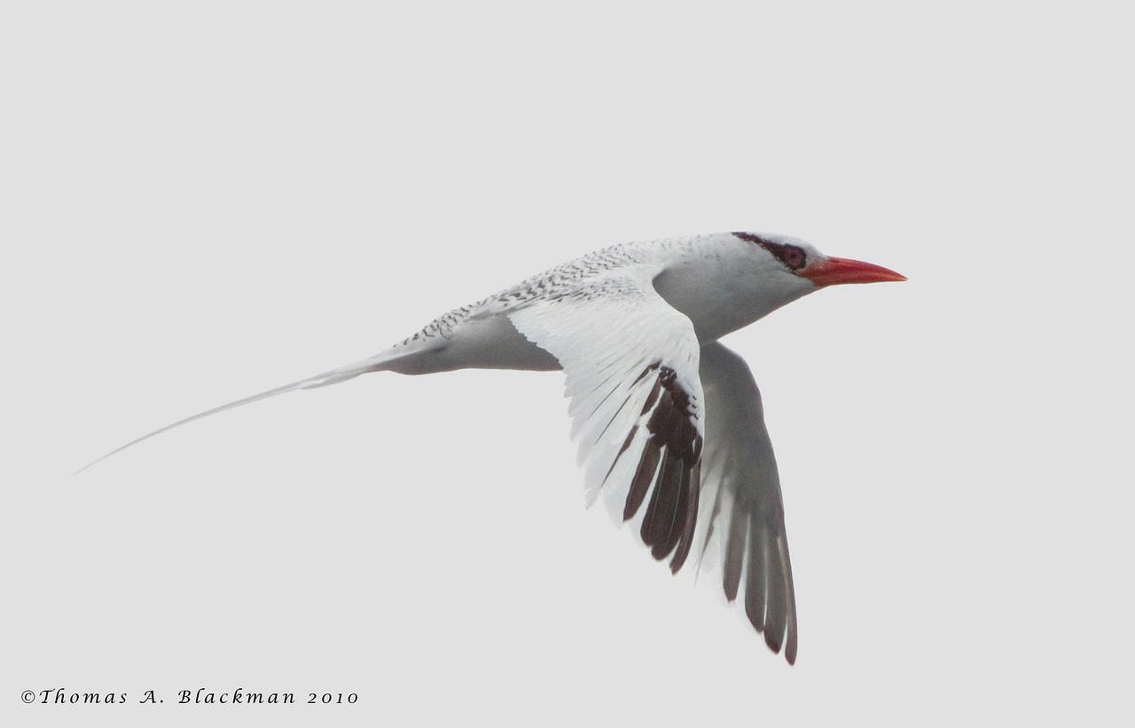Tropicbird_Red-billed TAB10MK4-26813