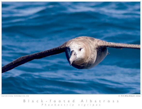 Albatross_Black-footed TAB09MK3-17538