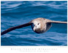 Albatross_Black-footed TAB09MK3-17538