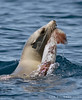 California Sea Lion eating a Humbolt Squid