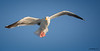 Western Gull<br /> Larus occidentalis