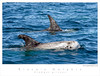 Dolphin_Risso's TAB08MK3-01976