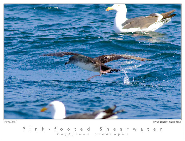 Shearwater_Pink-footed TAB08MK3-03702