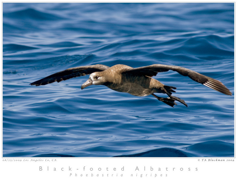 Albatross_Black-footed TAB09MK3-15901