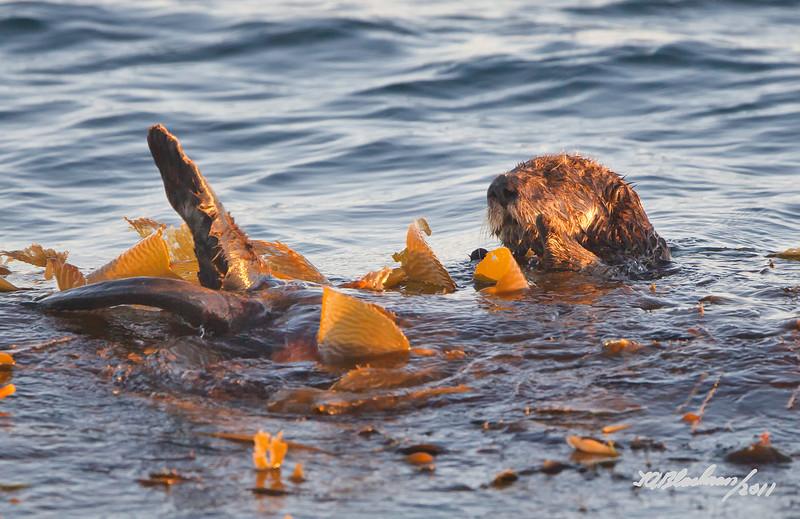 Sea Otter<br /> Enhydra lutrus
