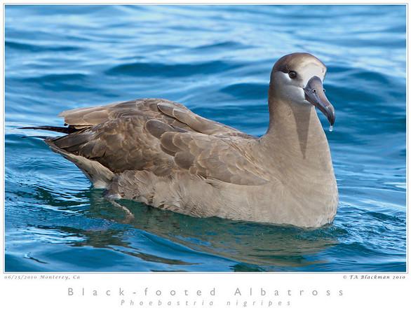 Albatross_Black-footed TAB10MK4-20735