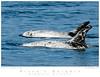 Dolphin_Risso's TAB10MK3-01036