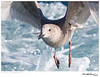 Gull_Glaucous-winged TAB10MK4-34088