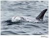 Risso's Dolphin<br /> Grampus griseus