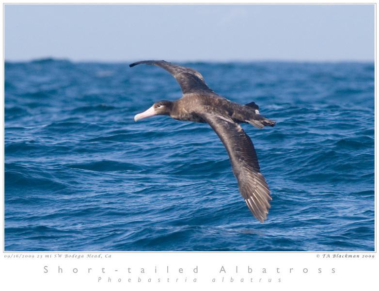 Albatross_Short-tailed TAB09MK3-17876