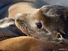 Sealion_California TAB12MK4-04808