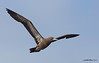 Brown Booby<br /> Brown Booby<br /> Sula leucogaster
