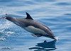 Long-beaked Common Dolphin<br /> Delphinus capensis