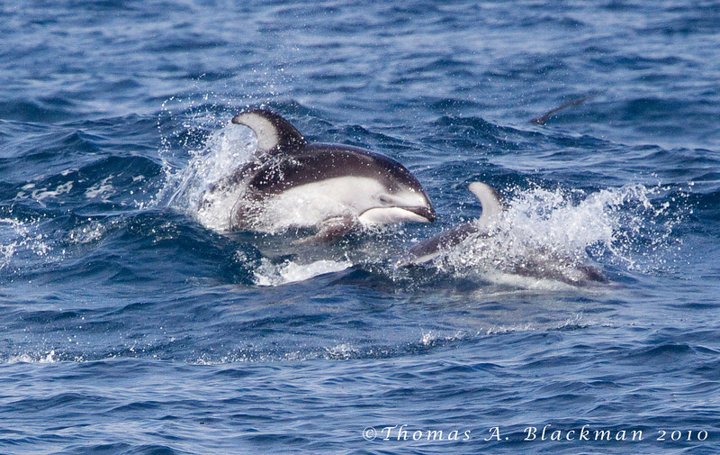 Dolphin_Pacific White-sided TAB10MK4-27008