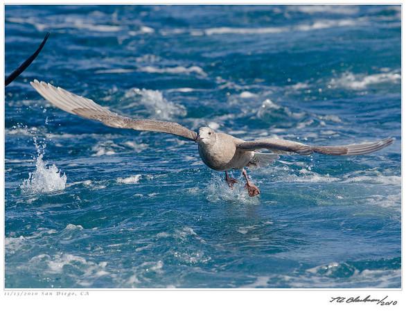 Gull_Glaucous-winged TAB10MK4-34101