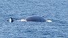 Fin Whale<br /> Balaenoptera physalus