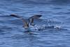 Shearwater_Audubon's TAB11MK4-18915