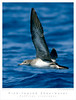 Shearwater_Pink-footed TAB08MK3-10830