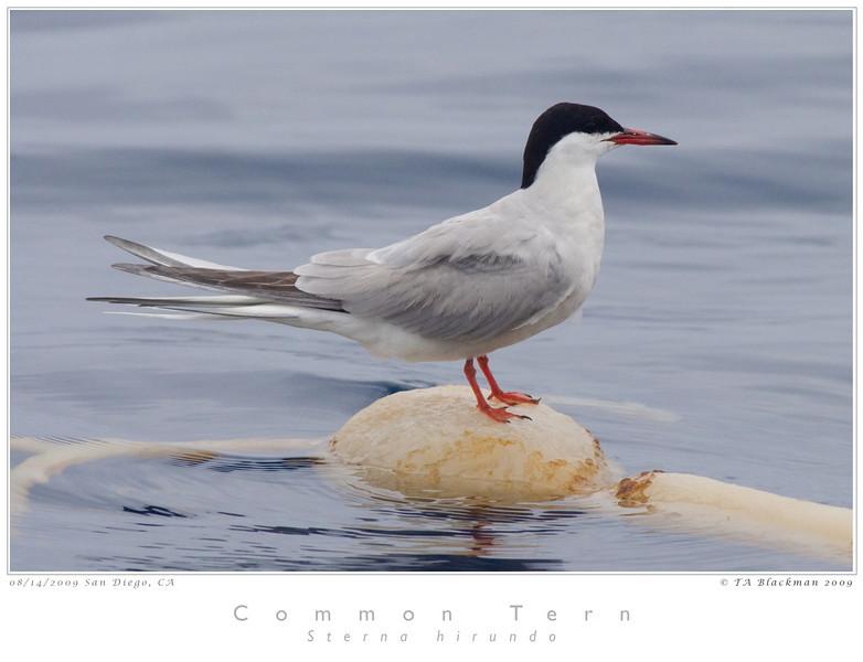 Tern_Common TAB09MK3-15303