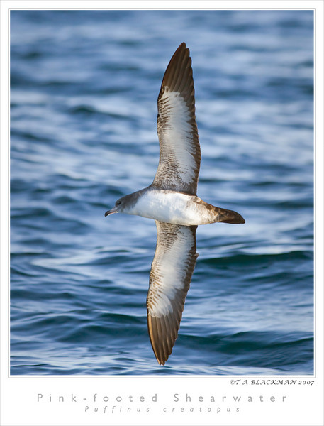 Shearwater_Pink-footed TAB07MK3-09480