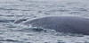 Blue Whale<br /> Balaenoptera musculus
