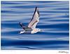 Gull_Bonaparte's TAB10MK4-33444