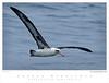 Albatross_Laysan TAB08MK3-08005