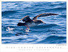 Pink-footed Shearwater TAB07MK3-02583