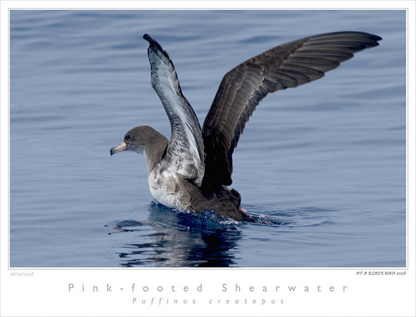Shearwater_Pink-footed TAB08MK3-11643