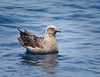 Skua_South Polar TAB11MK4-21528