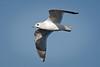 Gull_Mew TAB11MK4-5998