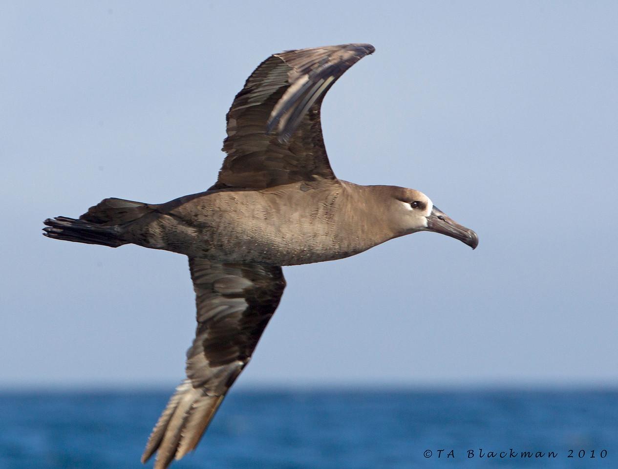 Albatross_Black-footed TAB10MK4-20637
