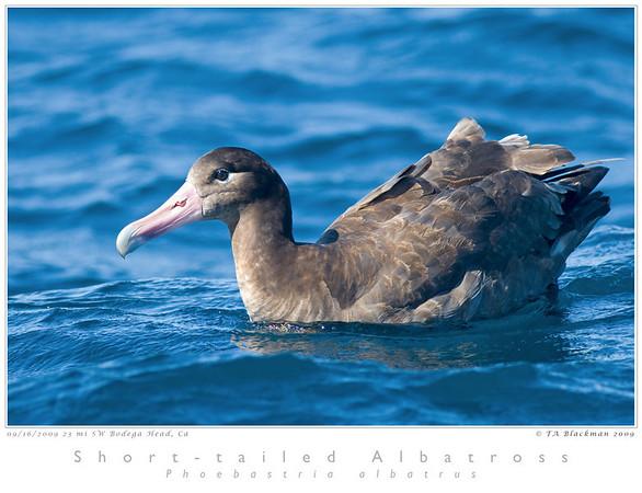 Albatross_Short-tailed TAB09MK3-17849