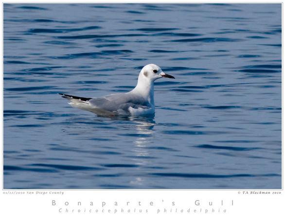 Gull_Bonaparte's TAB10MK3-00945