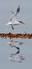 Elegant Tern<br /> Thalasseus elagans