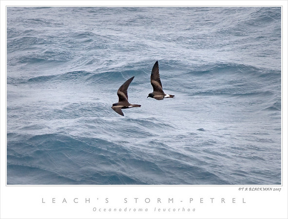 July trip, note both Dark-rumped and White-rumped together.
