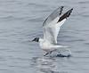 Sabine's Gull<br /> Xema sabini