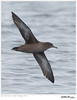 Sooty Shearwater<br /> Puffinus griseus