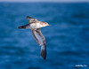 Pigeon Guillemont<br /> Cepphus columba