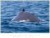 Whale_Humpback TAB10MK4-4945