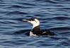 Common Murre<br /> Uria aalge