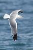 Gull_California TAB11MK4-6844