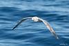 Mew Gull<br /> Larus canus