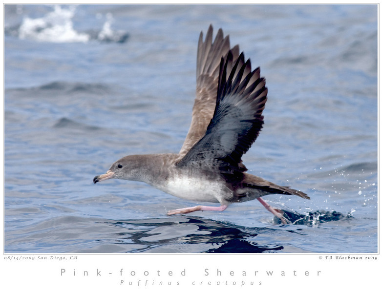 Shearwater_Pink-footed TAB09MK3-15551
