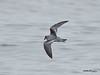 Fork-tailed Storm-Petrel<br /> Oceanodroma furcata